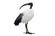 African Sacred Ibis Isolated On White