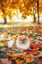 Beautiful Pomeranian Dog In Autumn Park. Autumn Dog. Dog In Autumn Park