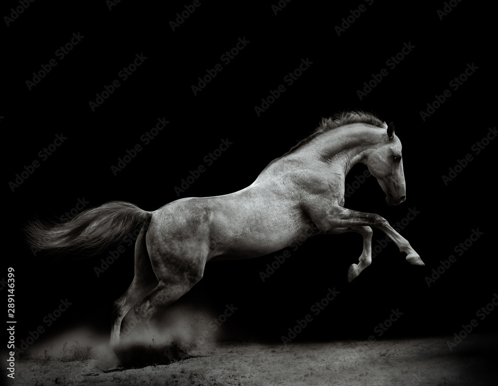 Fototapety, obrazy: Beautiful silver-white stallion on black