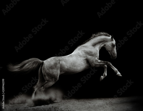 La pose en embrasure Chevaux Beautiful silver-white stallion on black