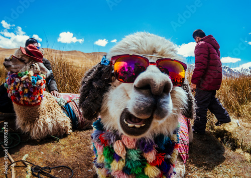 Foto op Canvas Lama Lama in Andes