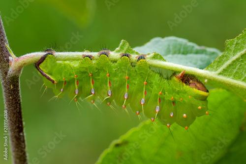 Fotografie, Tablou  Polyphemus Moth - Antheraea polyphemus, caterpillar of beautiful large American moth