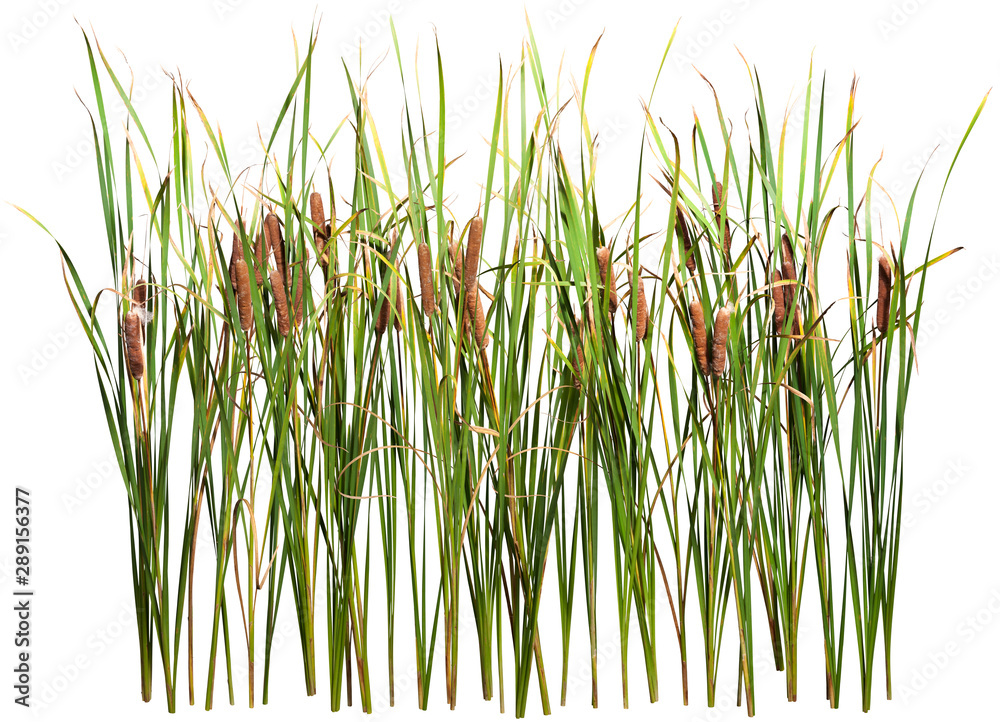 Fototapeta Cattail and reed plant isolated on white background