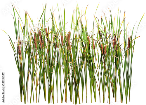 Photo Stands Grass Cattail and reed plant isolated on white background