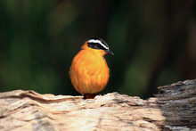 The White-browed Robin-chat (C...