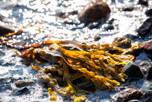 Brown Seaweed On The Coastline