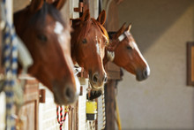 Three Brown Horses In The Stable