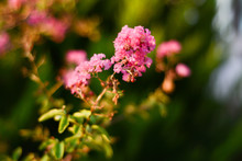 Pink Crape Myrtle Flowers On A Blurry Green Background