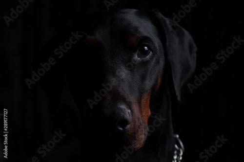 sinister dark portrait of a Dobermann peeping out of the dark Fototapeta