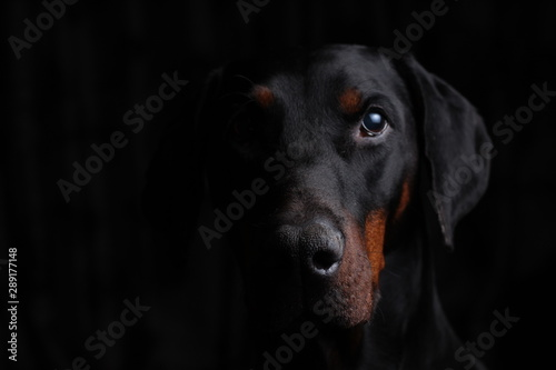 Dobermann Portrait looking directly at you with a subtle  sidelighting Fototapete