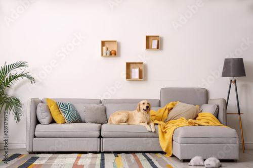 Fototapeta Modern living room interior. Cute Golden Labrador Retriever on couch obraz