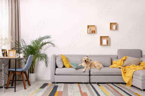 Modern living room interior. Cute Golden Labrador Retriever on couch - 289179978