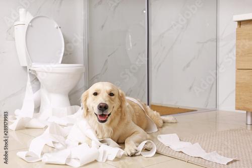 Obraz Cute Golden Labrador Retriever playing with toilet paper in bathroom - fototapety do salonu
