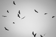 Silhouette Of F Lock Of Vultures Flying Above Hill In Black And White, Spooky