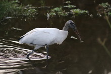 Wood Stork In The Green Cay Wetland Boynton Beach Florida USA