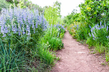 Many Purple Blue Lupine Flowers Along Dirt Road Path On Sunnyside Trail Hike During Early 2019 Summer Spring In Aspen, Colorado