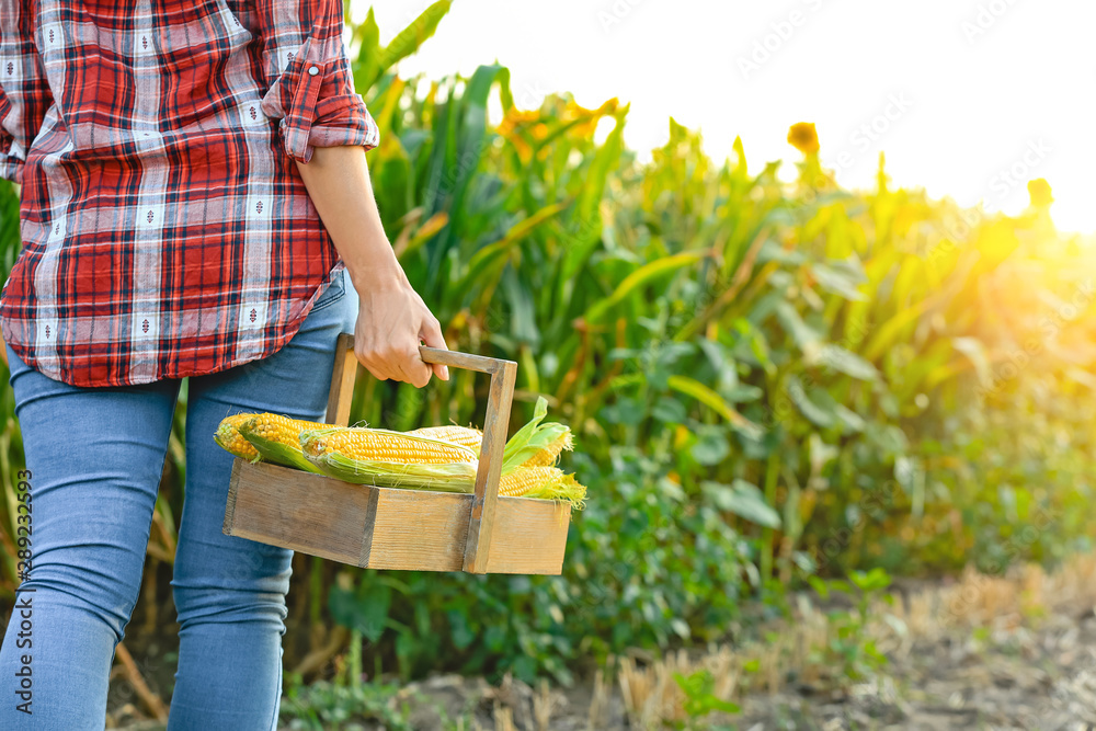 Fototapety, obrazy: Woman with basket of fresh corn cobs in field