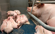 Piglets. Pigs. Pig Breeding. Stable. Netherlands.