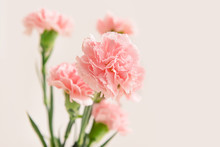 Beautiful Carnation Flowers On Light Background
