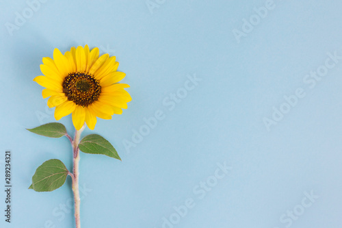 Beautiful sunflower on a blue background. Place for text.
