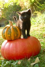 Black Cat And Pumpkins. Halloween.Little Black Kitten And Two Pumpkins On A Blurred Garden Background. Fall Season.