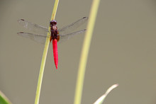 Dragonfly In The Singapore Botanic Gardens In Singapore