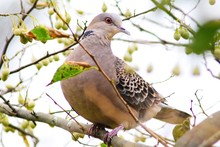 Turtle Dove On Branch