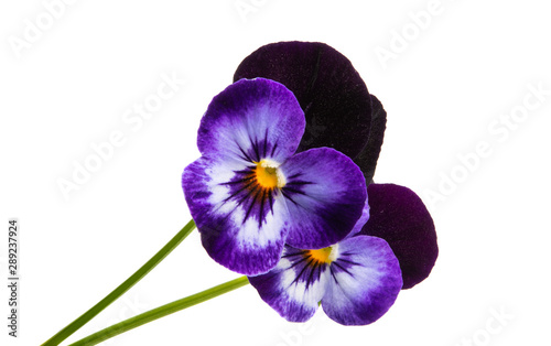 Papiers peints Pansies pansy flower isolated