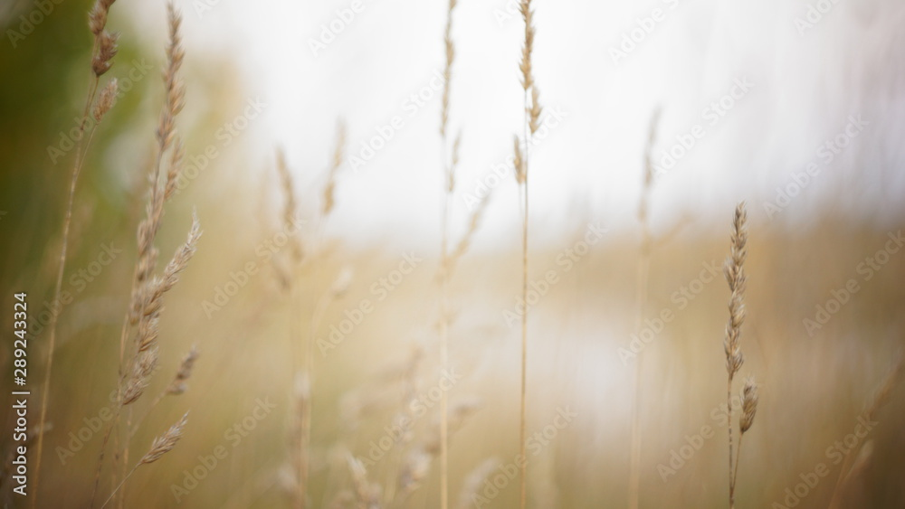 Fototapety, obrazy: autumn background. autumn field spikes fog foreground blurred background bokeh