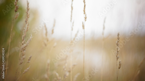 autumn background. autumn field spikes fog foreground blurred background bokeh - 289243324