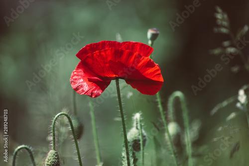 Red spring poppy - 289248703