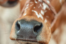 Mouth And Nose Of The Calf