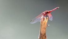 The Violet Dropwing, Trithemis Annulata