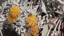 THE COURTYARDS FESTIVAL OF CORDOBA. Yellow Silver Ragwort Or Dusty Miller Flowers With A Bee. Patios De Córdoba. Senecio Cineraria. Jacobea Maritima