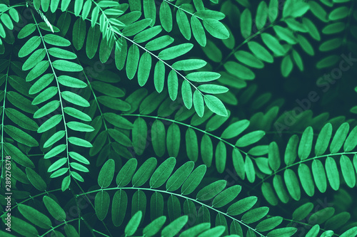 Closeup of green leaves of acacia background. Wallpaper Mural