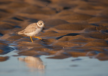 Piping Plover On MA Beach