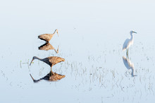 Limpkins And Snowy Egret Wading In The Water With Reflections