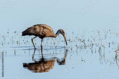 Limpkin in Florida searches in the water for food - reflection