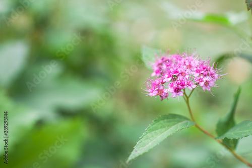 Canvastavla Spiraea japonica pink summer flowers on a green background