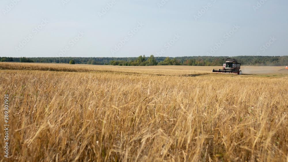 Fototapeta Combine harvester working on a wheat field.