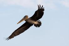 A Galapagos Brown Pelican (Pel...