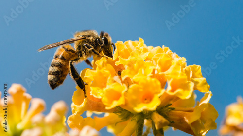 Spoed Fotobehang Bee Hovey Bee On Butterfly Bush