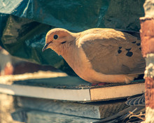 Pair Of Mourning Doves Make Ne...