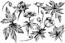 Vector Anemone Floral Botanica...