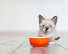 Kitten Eating Food From Bowl