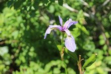 Blue Flag Iris At Acadia National Park In Maine