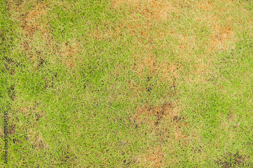 Fototapeta  Pests and disease cause amount of damage to green lawns, lawn in bad condition a