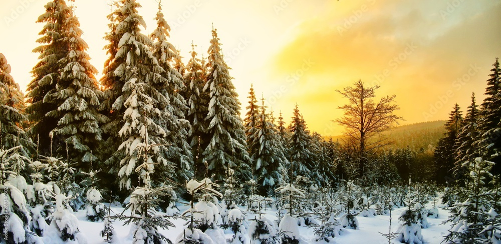 Fototapety, obrazy: Beautiful scenic winter landscape with the snow covered spruce trees