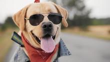 Portrait Of A Biker Labrador D...