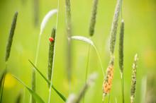 The Red Ladybird Climbs On A B...